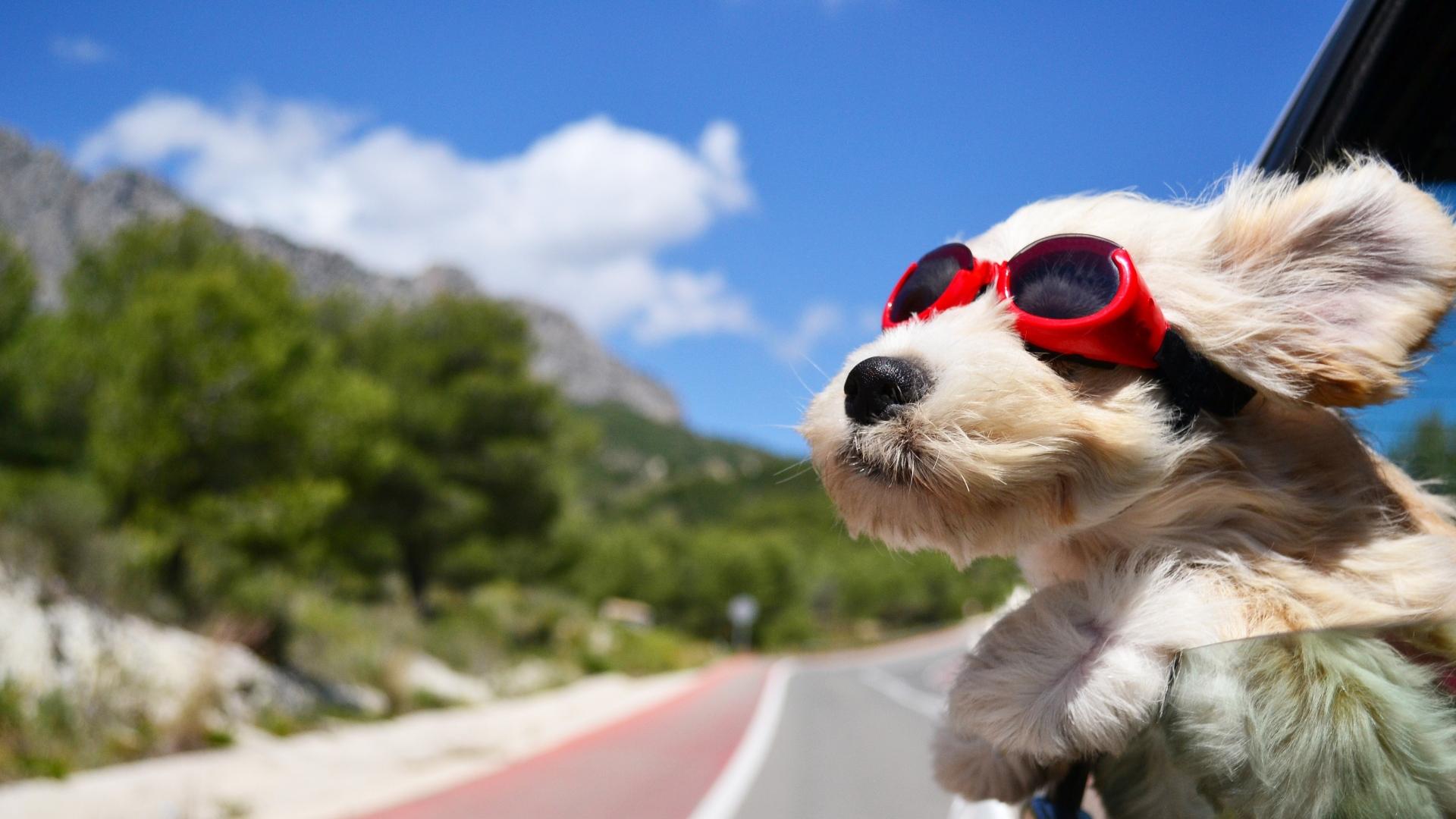 dog_face_wind_glasses_96452_1920x1080